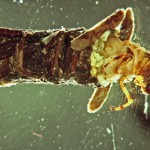 Caddis Fly Larva, Mark Oswood photo